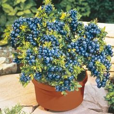 Who knew? Blueberries thrive in contain  er gardens! It would be great to have fresh blueberries all the time.