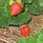 Growing Strawberries in Utah--best varieties, when to plant bare root, how to ammend soil, what to do in winter