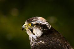 a hawk, a bird view