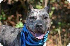 Staten Island, NY - American Staffordshire Terrier/Catahoula Leopard Dog Mix. Meet LUCY, a dog for adoption. http://www.adoptapet.com/pet/13743650-staten-island-new-york-american-staffordshire-terrier-mix