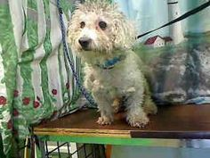 CAME IN WITH A437862  #A437861 (Moreno Valley, CA)  Male, white Poodle - Miniature and Bichon Frise.  The shelter thinks I am about 9 months old...       City of Moreno Valley Animal Control Services. https://www.facebook.com/135559229932205/photos/a.136024659885662.29277.135559229932205/335842636570529/?type=3&theater