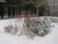 landscaping with winterberry -Winter look