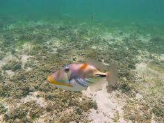 Attaques d'un superbe poisson sur le plongeur qui le filme LOL