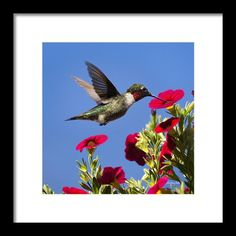 Moment Of Joy Hummingbird Square Framed Print By Christina Rollo