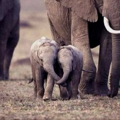 I just love baby elephants. Reminds me of watching Hatari with me dad when I was a kid.
