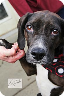 New Windsor, NY - Beagle/Beagle Mix. Meet LuLu a Dog for Adoption.