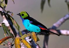 Paradise Tanager (Photo by participant Roy Giles)