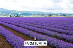 Tomita lavender farm Hokkaido