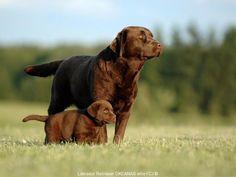 Photos | Labradoro Retriveriai OKEANAS ELITE kennel