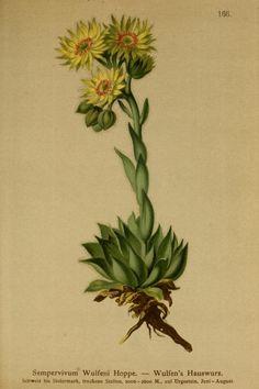 2 - Atlas der Alpenflora / - Biodiversity Heritage Library