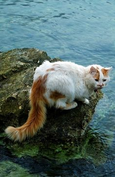 Sivota (Epirus), Greece | Photographer: Adela Hriscu.  OK I'm biased because my Lily is a Turkish Van mix, but I think this is one of the most beautiful cats I've ever seen.
