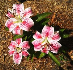 Star gazer lily photographed by Idali Feliciano, in her back yard, on July 10.