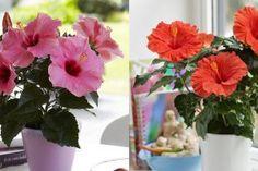 Grădinărit Archives - Page 9 of 18 - Fasingur Glass Vase, Hibiscus, Table Decorations, Flowers, Knifes, Culture, Plant, Floral, Royal Icing Flowers