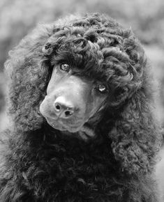 .This is the most beautiful poodle I have ever seen. #Poodle