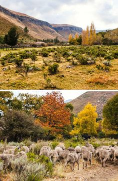 Stunning autumn scenes about 23 km from the quaint little town Rhodes in the Eastern Cape. These cottages offer all the rest and tranquility any tired soul needs. Autumn Scenes, Rhodes, Trout, Cottages, South Africa, Sheep, Tired, Cape, Travel