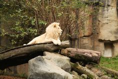 White lion at Ouwehands dierenpark