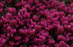 "Erica carnea 'Myretoun Ruby' Winter Heath. Hundreds of small, urn-shaped flowers that open dusty rose and deepen through magenta to rich, ruby-red. They cover this low-spreading, evergreen shrub from January through May, creating an excellent groundcover for sunny locations or adding interest to winter containers. 6"" x 16"""