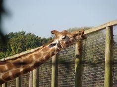 Giraffe at Marwell Zoo Marwell Zoo, Giraffe, Animals, Amp, Felt Giraffe, Animales, Animaux, Giraffes, Animal