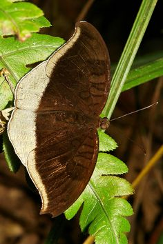 Grey Count (Tanaecia lepidea, Nymphalidae) | Flickr - Photo Sharing!