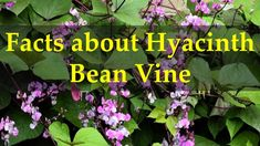 Facts about Hyacinth Bean Vine