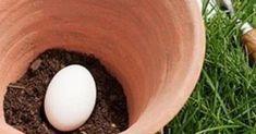 Han lägger ett ägg i jorden och avslöjar ett knep som alla trädgårdsmästare borde ha koll på.