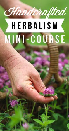 We're fizzing with excitement over the debut of our very first free online herbal mini-course! Come join us for a gander into the world of handcrafted herbalism, where we'll explore wild foods foraging, herbal medicine making, and a bit of juicy herbal botany to boot. Enroll for free by March 22: http://chestnutherbs.com/handcrafted-herbalism/