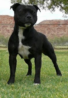 Staffordshire Bull Terrier - Little sweet dog with lots of personality!