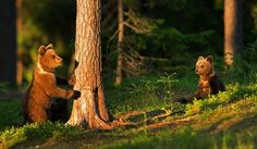 Photograph Bear cubs by Lauri Tammik on 500px
