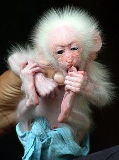 This amazing little character kind of looks like an old man--yet he's a new baby. Wow! -- Baby Monkey.