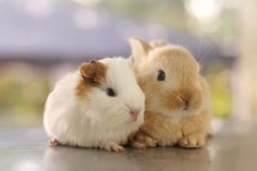 best friends guinea pig and bunny rabbit. we had a couple like this. the bunny was so sad when the guinea pig passed away....