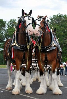 Clydesdale horses are actually named for the River Clyde, in Lanarkshire, Scotland. In the early farmers in this area cross bred horses, and the Clydesdale was born. Big Horses, Work Horses, Horse Love, All The Pretty Horses, Beautiful Horses, Animals Beautiful, Beautiful Babies, Animals And Pets, Cute Animals
