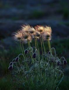 Wind Flower, Gloucestershire, England  photo via wallace