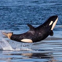 J50 credit to the San Juan Island Whale Museum #scarlet #orca