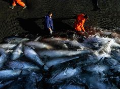 Overfishing -- Pristine Seas -- National Geographic