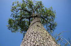 Castanheira O fruto da castanheira-do- Pará (Bertholletia excelsa Bonpl.), chamado de ouriço, abriga sementes ricas em gordura e nutrientes em seu interior. No entanto, sua casca é tão dura que é impossível de ser aberta pela maioria dos animais.