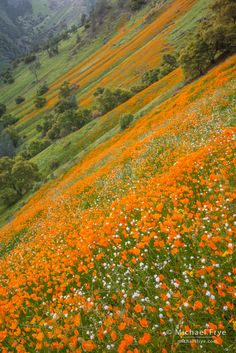 Poppies and popcorn flowers in the Merced River Canyon, California