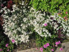 8. Anaphalis triplinervis Herbaceous Border, Burgundy Color, Hyde, Color Themes, Display, Plants, Decor, Floor Space, Decoration