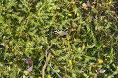 Leptodictyum riparium - sušinec pobřežní