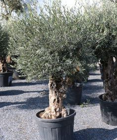 Buy Olive Tree, Uae, Plants, Olive Tree, Small White Flowers, Wicker, Plant, Planets