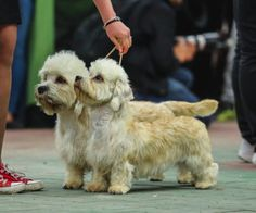 Dandie Dinmont Terrier Dog Breed Facts & Information & Cuteness Dandie Dinmont Terrier Dog Breed Facts & Information & Cuteness Source by judithcouch The post Dandie Dinmont Terrier Dog Breed Facts & Information Pitbull Terrier, Terrier Dog Breeds, Terrier Puppies, Dandie Dinmont Terrier, Tortoise As Pets, Hypoallergenic Dog Breed, Purebred Dogs, Find Pets, Dog Life