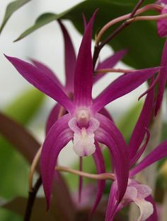 Dendrobium 'Royal Vista'- Sunset Valley Orchids