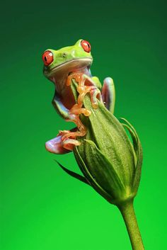 Frog balances on a flower bud. The photograph was taken by Bob Garasim photographer from Orlando, Fla., who is known for his macro photography of wildlife. (Bob Garas / Caters News / Zuma Press) :)