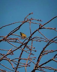 おはよーございます。  パンパンになってきた蕾で 手をふるサクラ枝にメジロ。 あぁ、春が間近にやって来てる。  さて月曜日。 スコンと晴れた空のような1日を。   #sky #winter #bird #空 #冬 #鳥