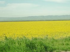 Cover crop of mustard on soon to be organic rice field.
