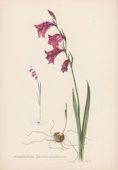Botanical Print Gladiolus palustris Marsh by AntiquePrintGarden