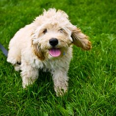 My parents are going to look at a few baby Cockapoo's this weekend. I really hope they get one! They don't shed (so they're great for allergy suffers like ME) and they look like a wittle tedddyy bearrr <3
