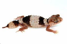 Nephrurus wheeleri cinctus - light banded phase #geckos #lizards