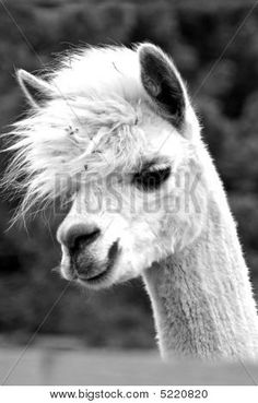 alpaca in black and white Farm Animals, Animals And Pets, Funny Animals, Cute Animals, Smiling Animals, Alpacas, Baby Llama, Cute Llama, Beautiful Creatures