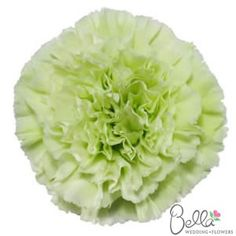 """Today, carnations are anything but that filler flower of the 70′s. They come in amazing natural colors ranging from green tea green to deep amethyst, violet, and pale lilac. The are long lasting and hold up well in hot weather. Best of all they look amazing when designed """"en masse"""" for a centerpiece or designed in the English-dome pave style for a bouquet. Get these beautiful Green carnations for your wedding and have it shipped straight from the farm to your doorstep with FREE SHIPPING…"""