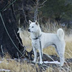 KISHU KEN -- Look to see if your favorite pup with be featured as a new spirit hood. Only at www.spirithoods.com!